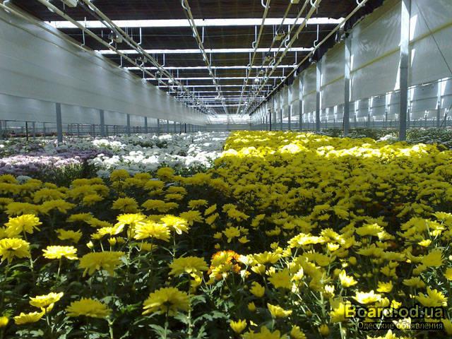 хризантемы в теплице