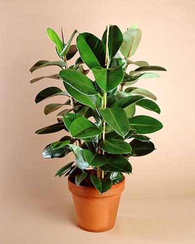 фикус полезные свойства растения