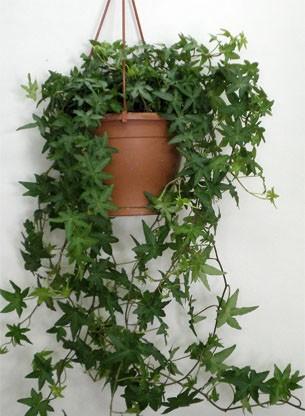 плющ полезное растение