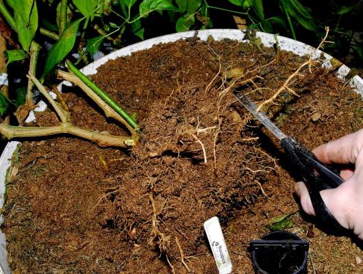 бонсай обрезка корней