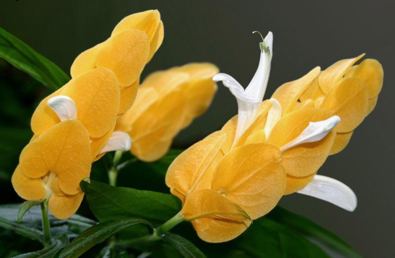 пахистахис цветы