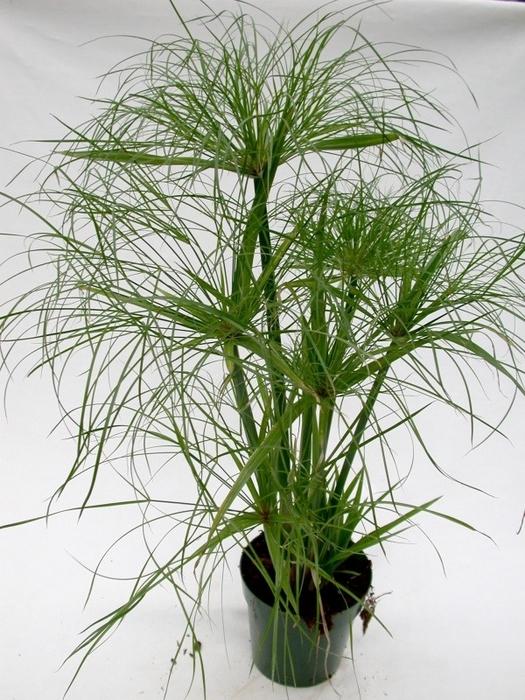 циперус полезные растения