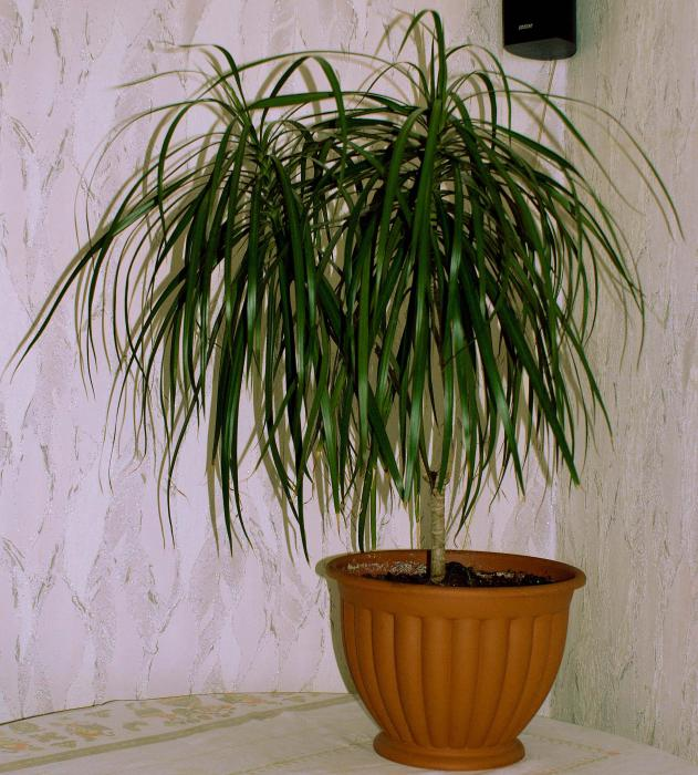 драцена неприхотлиое растение