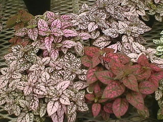 Гипоэстес листоколосниковый выращивание и уход