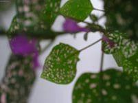 Гипоэстес листоколосниковый цветок