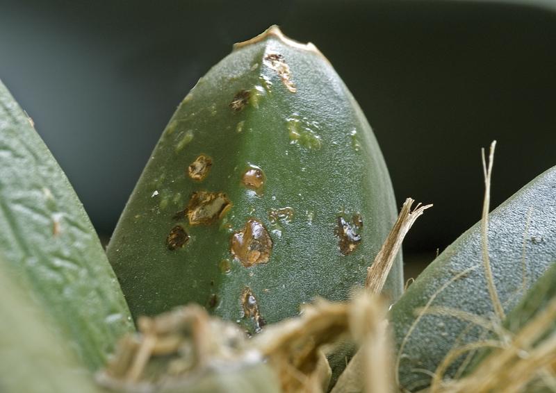 бактериальные болезни цветов