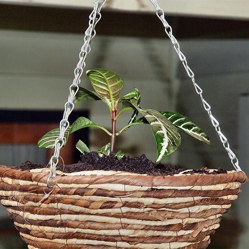 акантовые растения уход в домашних условиях