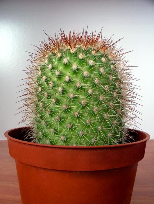 кактус полезное комнатное растение