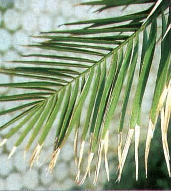 болезни пальм при неправильном уходе