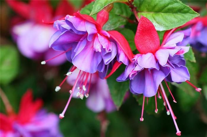 фуксия цветы2