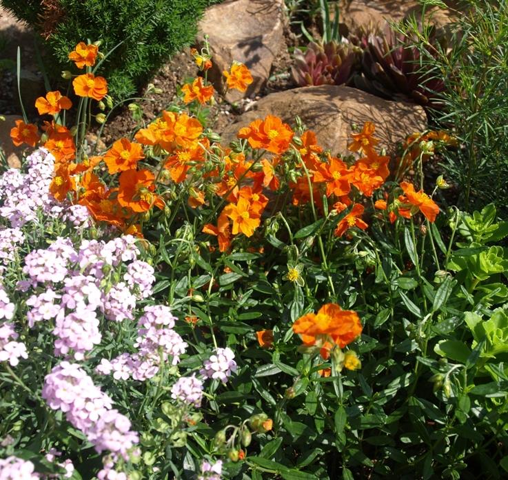 посадка солнцецвета в саду