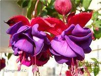 фуксия цветы