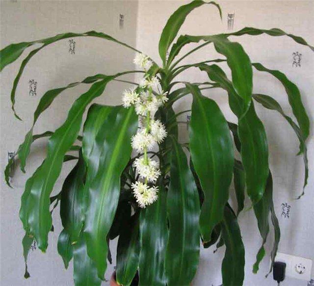 агавовые растения