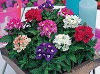 Фото однолетних цветов которые цветут всё лето 12
