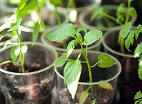 выращивание перца1