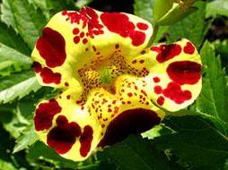 Мимулюс леопардовый