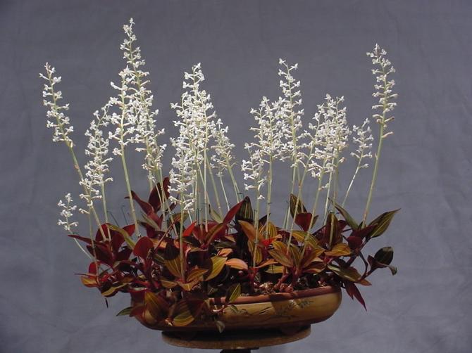 орхидея лудизия в домашних условиях