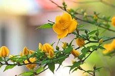 кустарники желтые