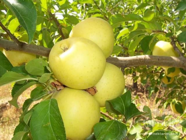 зимние яблоки голден делишес