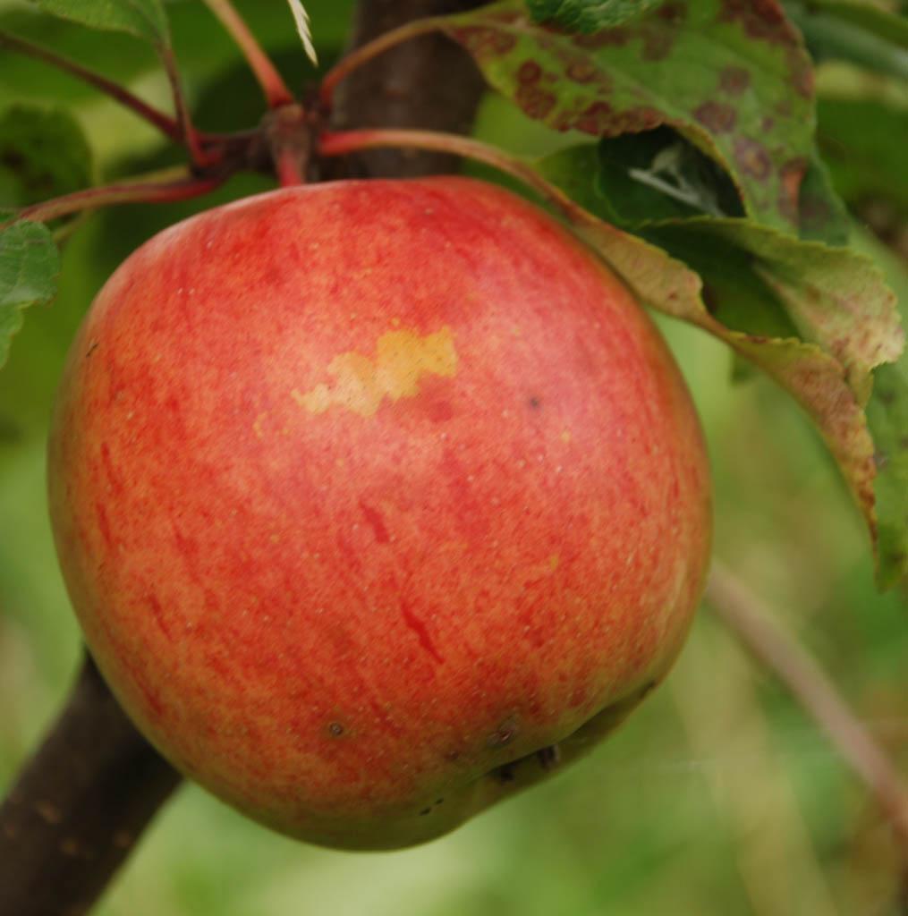 яблоки шафран саратовский