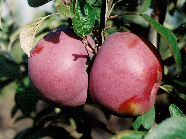 яблоки макинтош