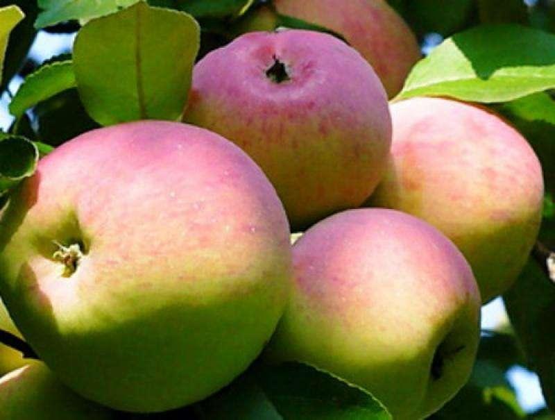 яблоки спартак
