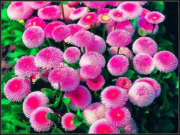 маргаритки цветы помпонная