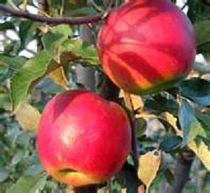 зимние яблоки пепин шафранный