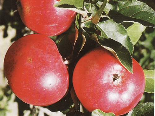 сорт яблок Старк Эрлиест