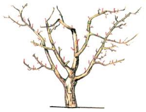 Обрезка старой яблони схема