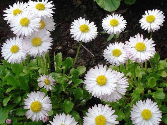 маргаритки цветы зе