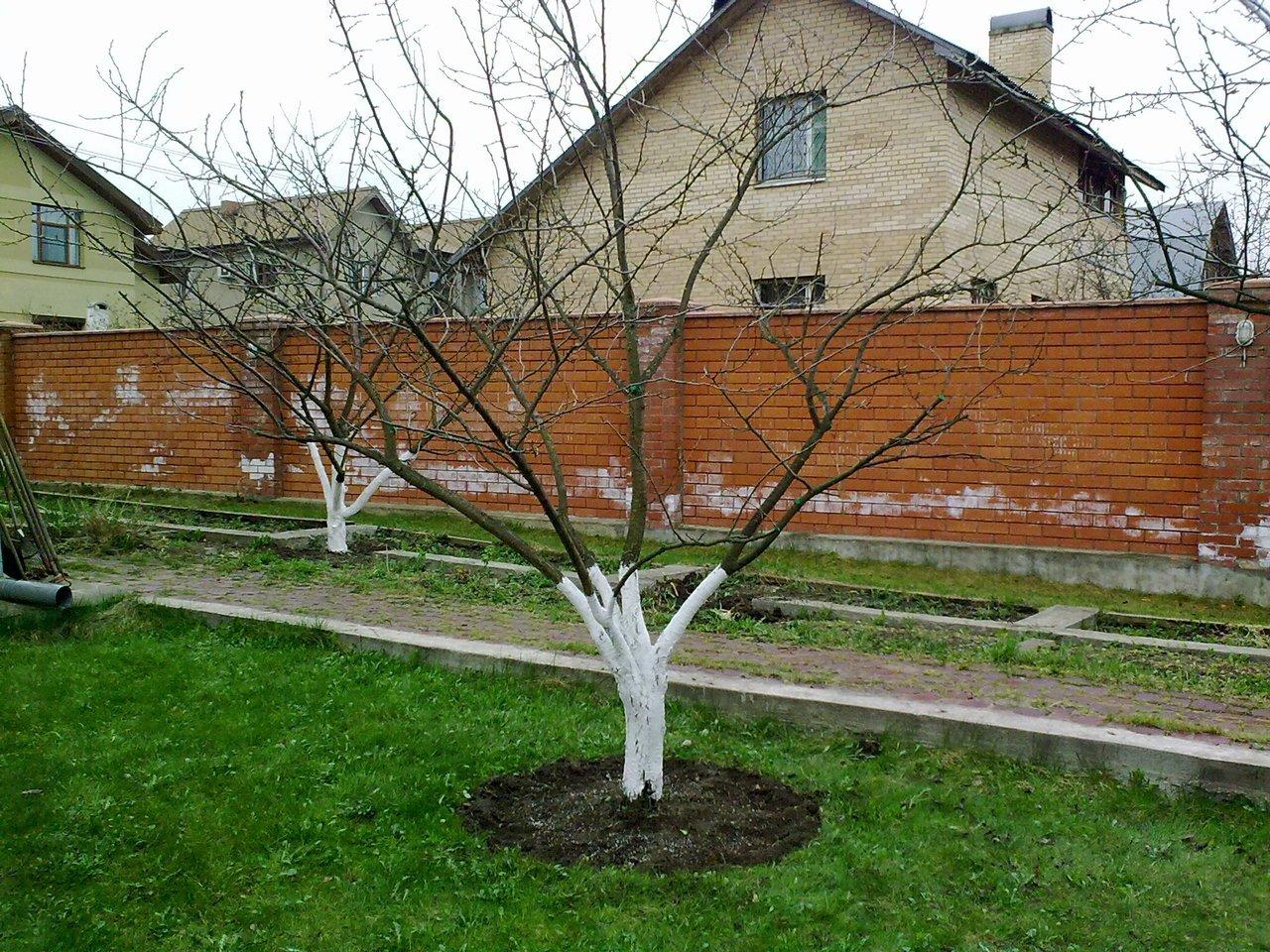 обрезка яблони весной схема