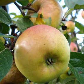 зимние яблоки ренет черненко