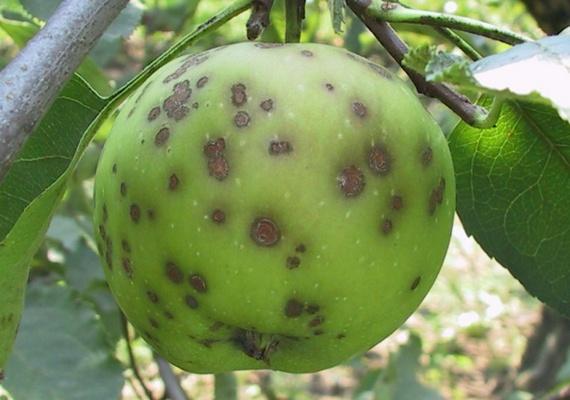 болезни яблонь парша яблони