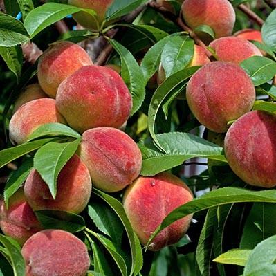 лучшие сорта персика