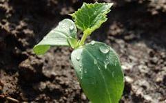 огурцы выращивание и уход