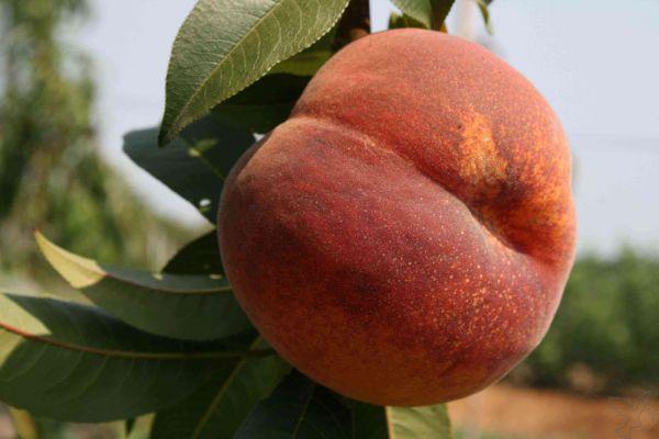 Персик кардинал