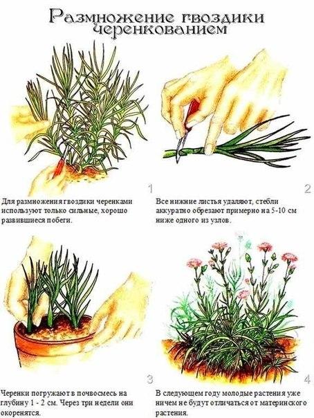 гвоздика садовая размножение