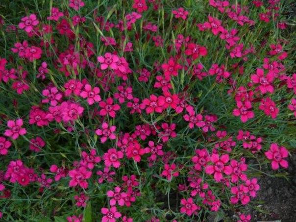 гвоздика садовая травянка
