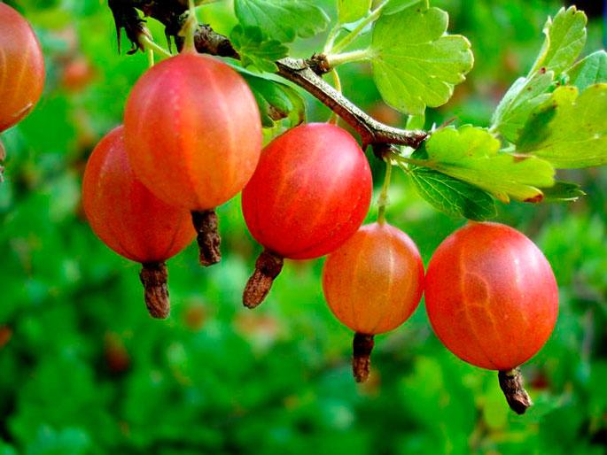 ягодные кустарники