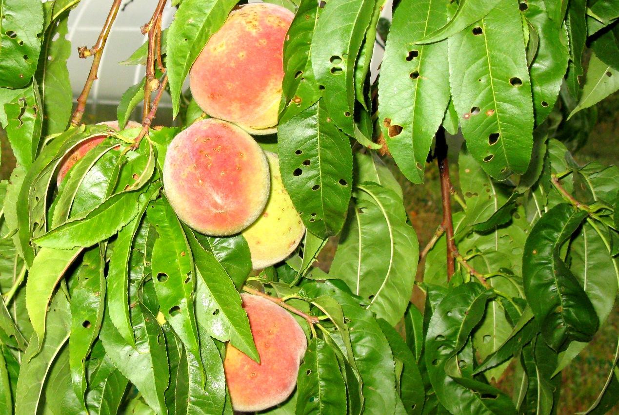 болезни персика и их лечение
