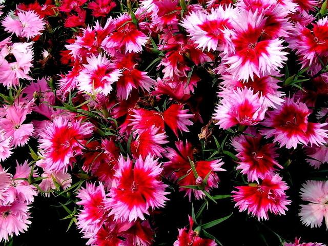 гвоздика садовая китайская