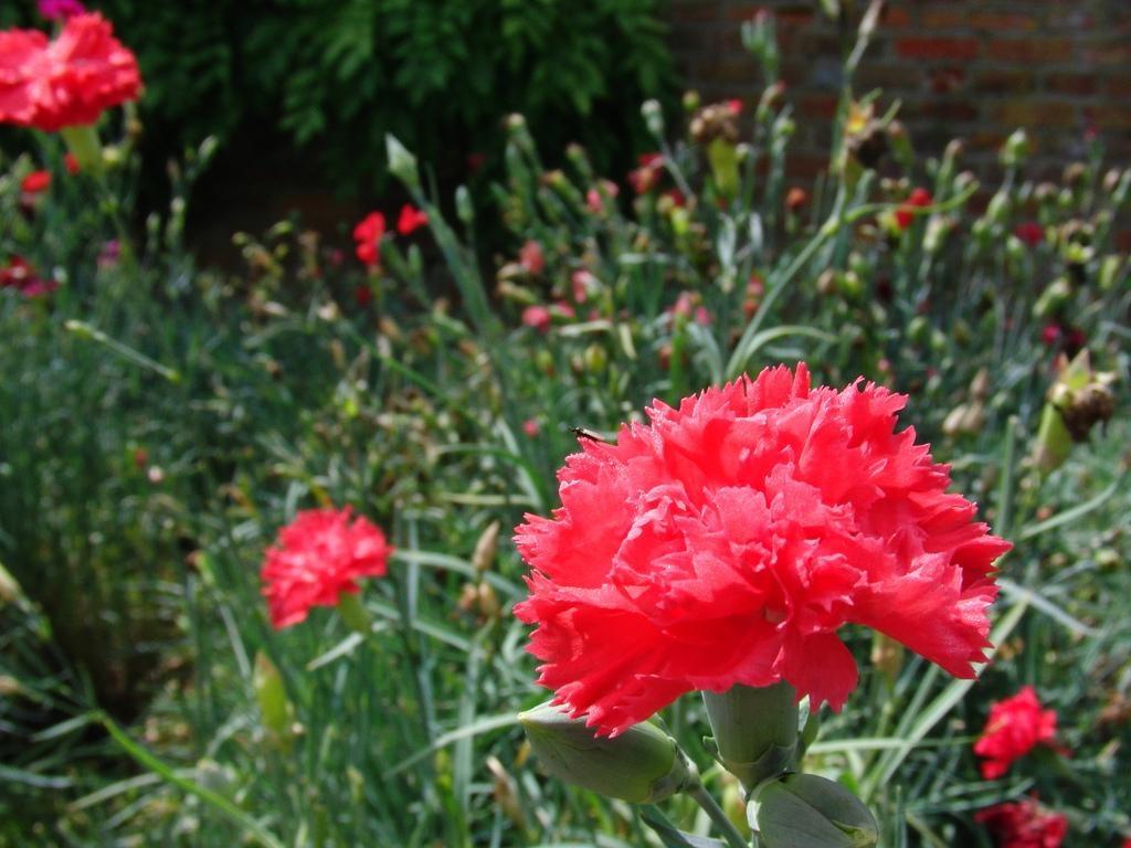 гвоздика многолетняя садовая