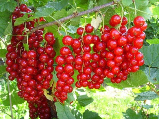 сорта красной смородины уральская красавица