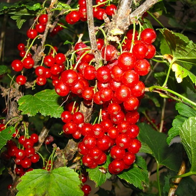 сорта красной смородины уральский сувенир