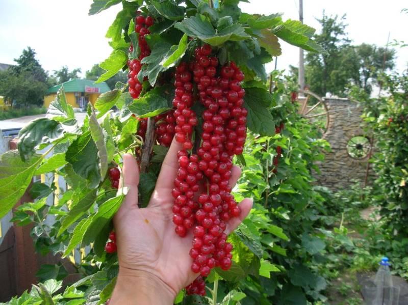 выращивание смородины
