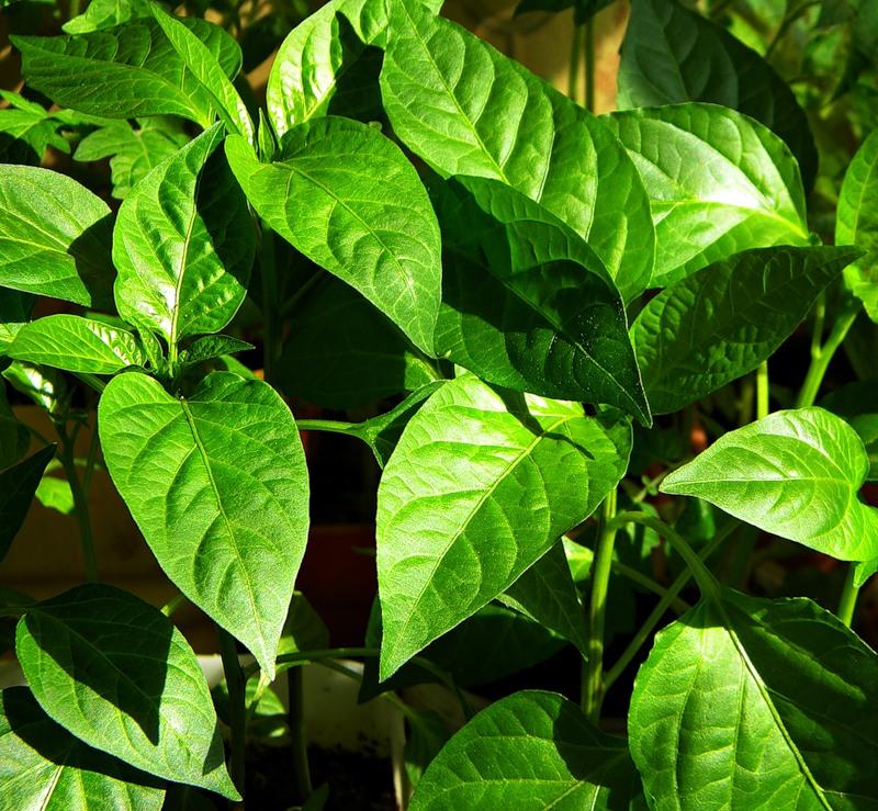 скручиваются листья у перца