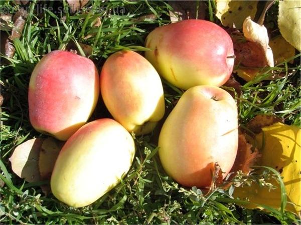 Синап яблоня