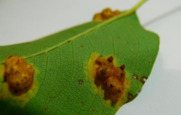 болезни на листьях груши ржавчина