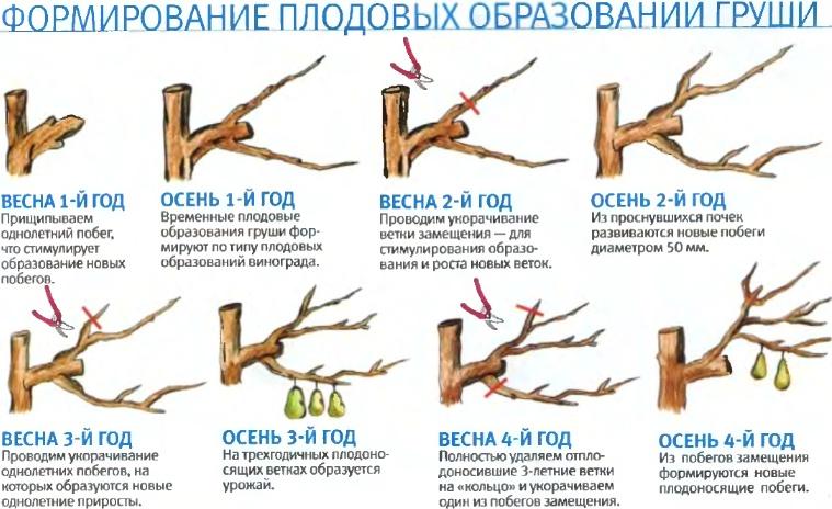 схема обрезки груши осенью